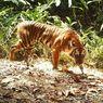 Kebakaran Hutan Bikin Harimau Keluar dari Belantara. Ini Penjelasan BKSDA Riau