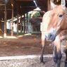 Kuda Langka Ini Berlindung di Bangunan Terbengkalai Bekas Bencana Chernobyl