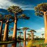 Pohon Baobab Tertua di Afrika Sedang Sekarat Akibat Perubahan Iklim
