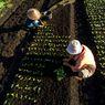 Bertani Tanpa Membakar Lahan Gambut, Ini yang Bisa Dilakukan