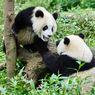 Upaya Konservasi Panda Ternyata Berdampak Buruk Bagi Spesies Lainnya