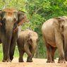 Menjadi 'Tawanan' di Penangkaran, Reproduksi Gajah Terhambat