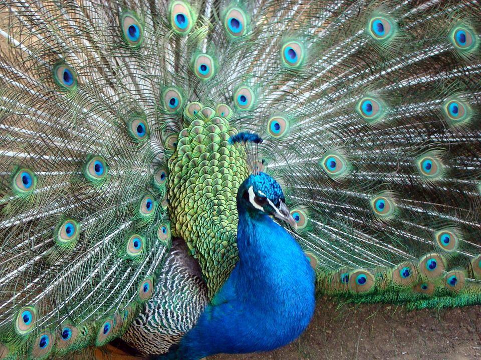 45+ Cara menggambar hewan burung merak terupdate