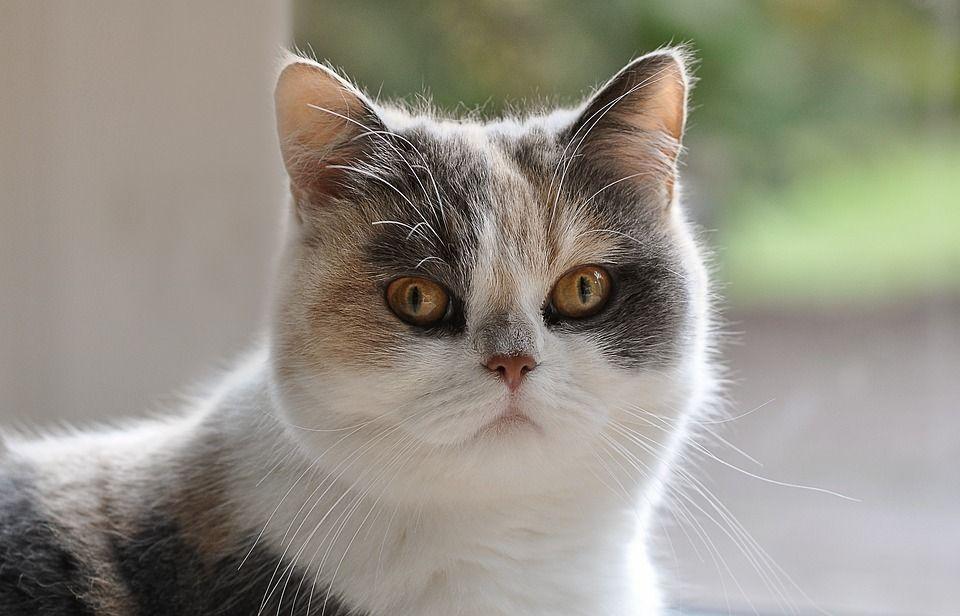 Mengenal 4 Jenis Kucing Persia Yang Paling Banyak Dipelihara Di