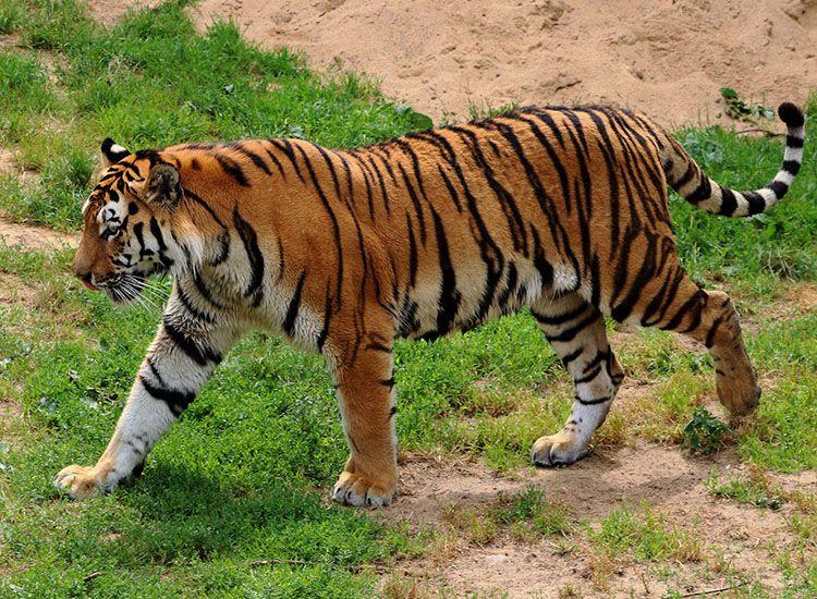 Ketahui Fakta Seputar Harimau Hewan Yang Dilindungi Namun Diburu