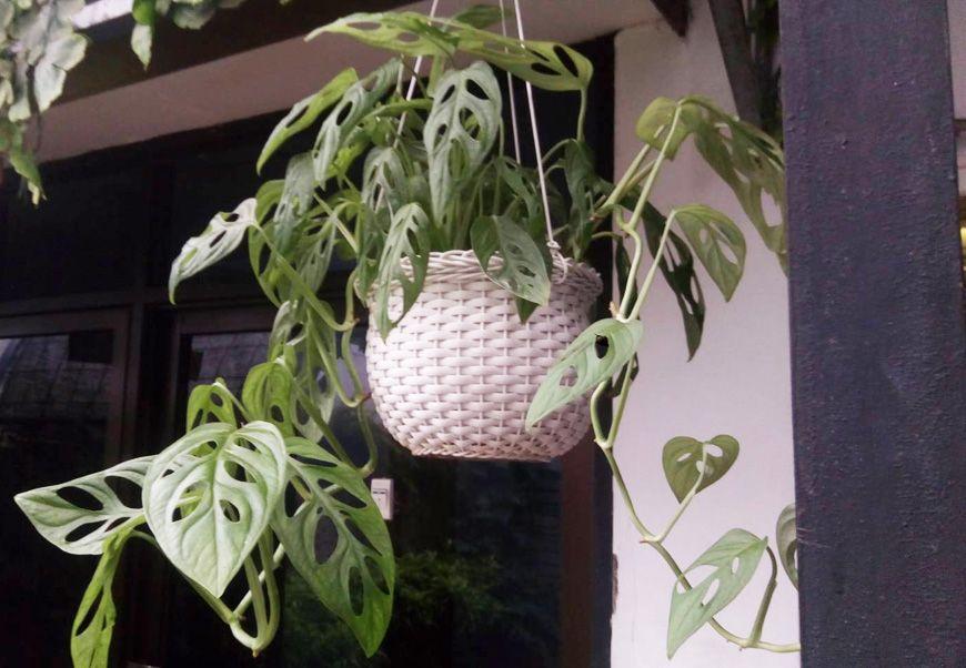 Uniknya Tanaman Philodendron Daunnya Berlubang Secara Alami Lo Semua Halaman Bobo