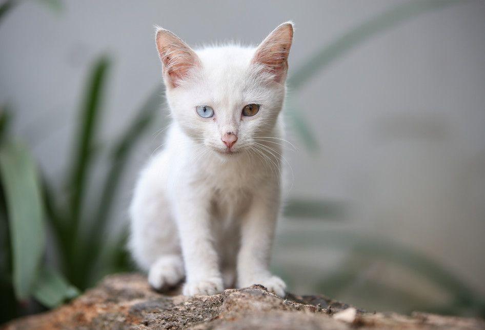 Unik Odd Eye Cat Kucing Dengan Warna Bola Mata Yang Berbeda Semua Halaman Bobo