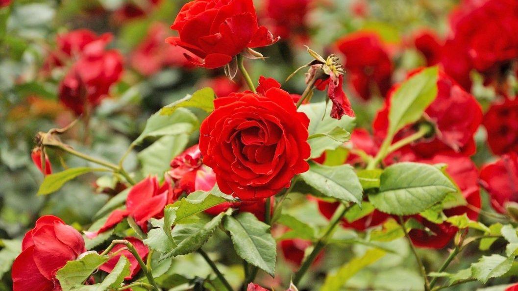 Yuk Lakukan 6 Hal Ini Agar Bunga Mawar Rajin Berbunga Di Halaman Semua Halaman Idea