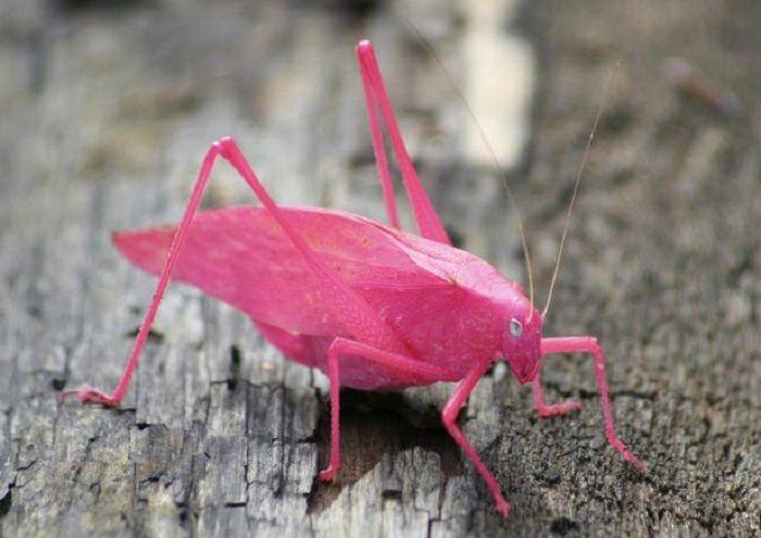 Bukan Berwarna Hijau Serangga Ini Seluruh Tubuhnya Berwarna Pink