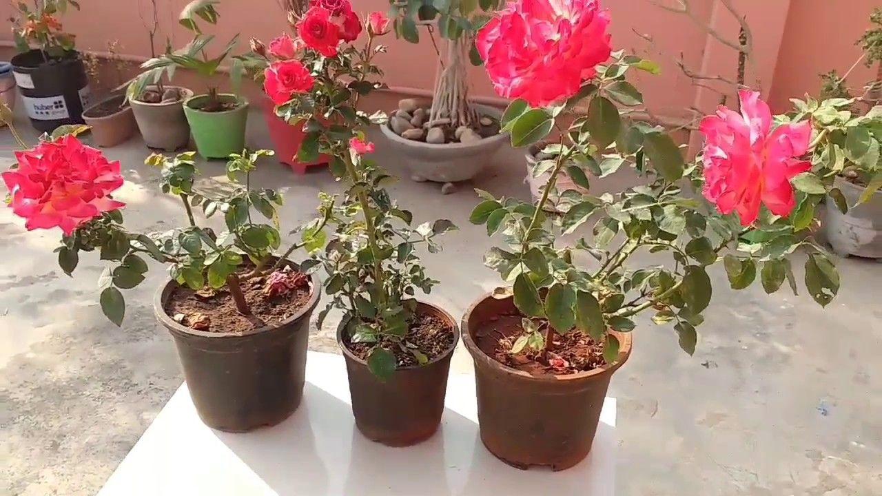 Lengkap Ini 5 Tahap Menanam Bunga Mawar Untuk Kamu Yang Suka Berkebun Semua Halaman Idea