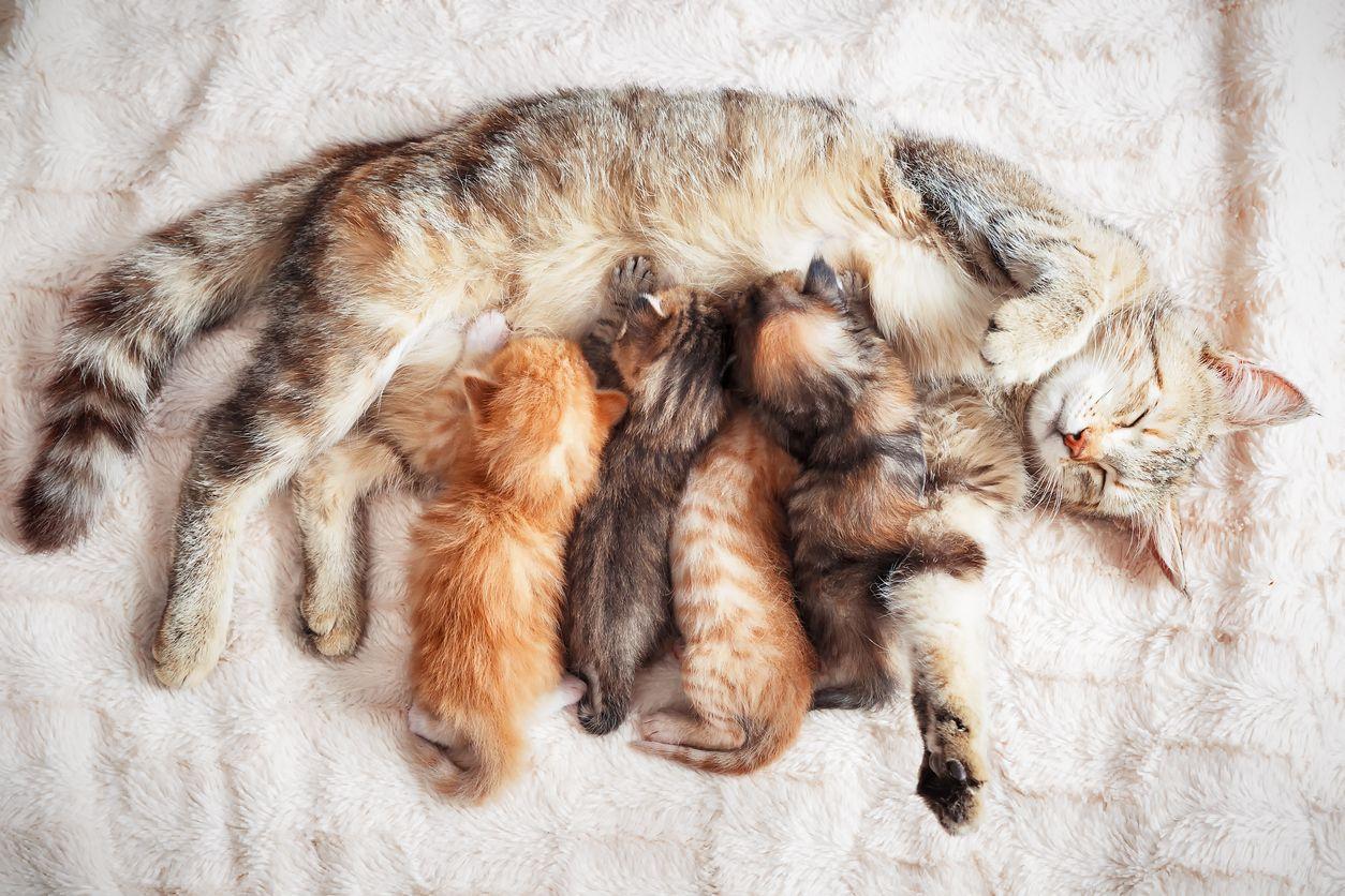 Berapa Lama Kucing Hamil Dan Bagaimana Ciri Ciri Sebelum