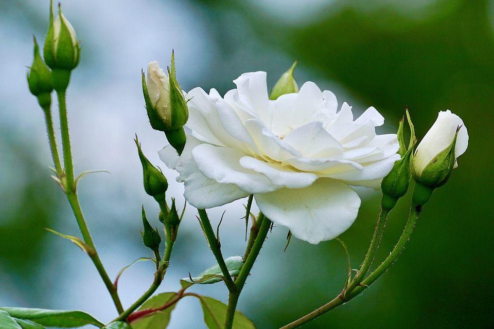 Mengenal Bagian Tumbuhan Mawar Yuk Apakah Semua Mawar Memiliki Duri Semua Halaman Bobo