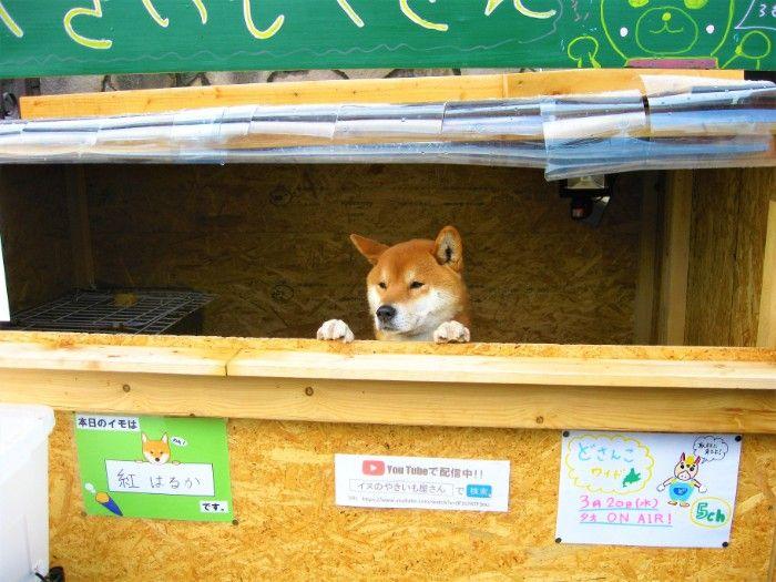 Harga Anakan Anjing Shiba Inu