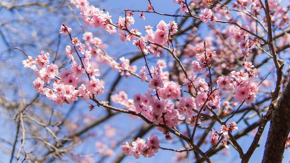 Selain Sakura Ini Bunga Cantik Lainnya Pada Setiap Musim Di Jepang Semua Halaman Bobo