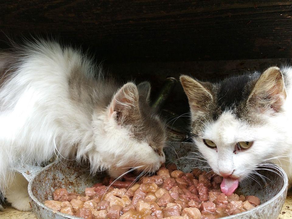 Berapa Lama Kucing Bisa Bertahan Hidup Tanpa Makanan Dan Air Minum Semua Halaman Bobo