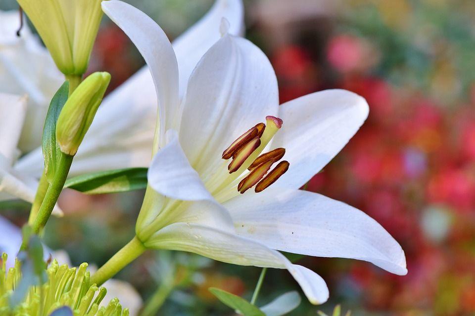 Bunga Lili Bunga Cantik Mirip Terompet Yang Dihormati Orang Yunani Semua Halaman Bobo