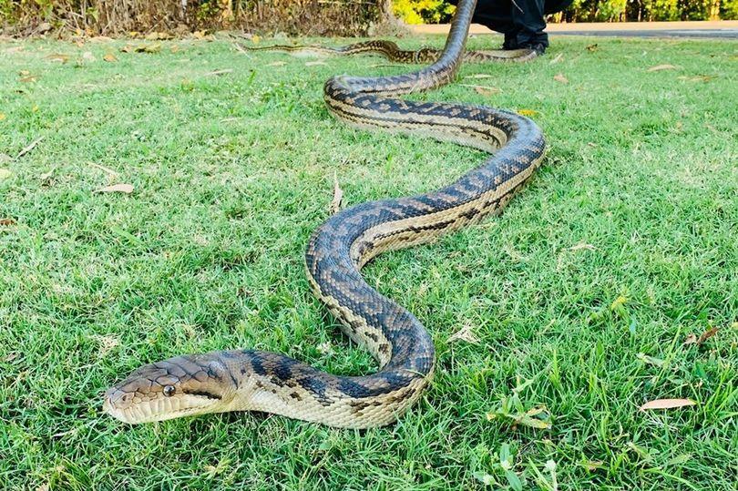 Mimpi menangkap ular sanca togel
