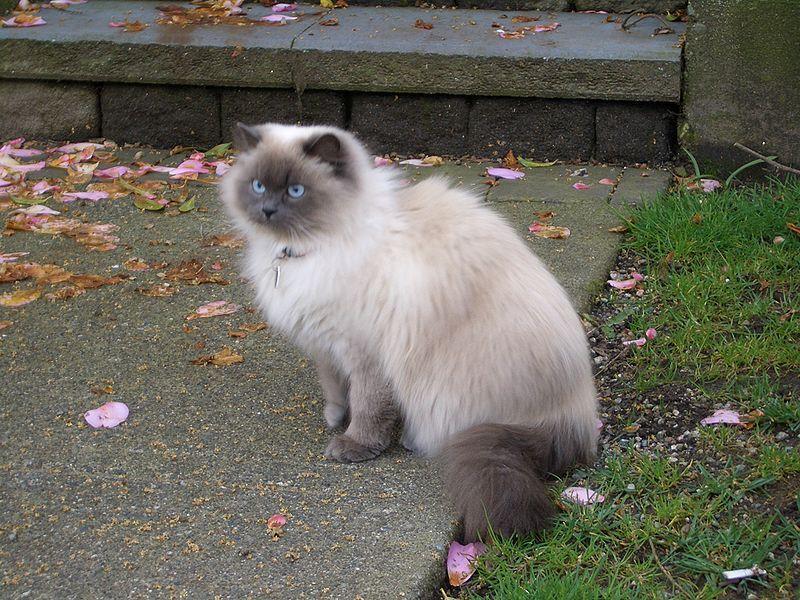 Fakta Kucing Persia Himalaya Hasil Persilangan Dua Kucing Yang Berbeda Semua Halaman Bobo