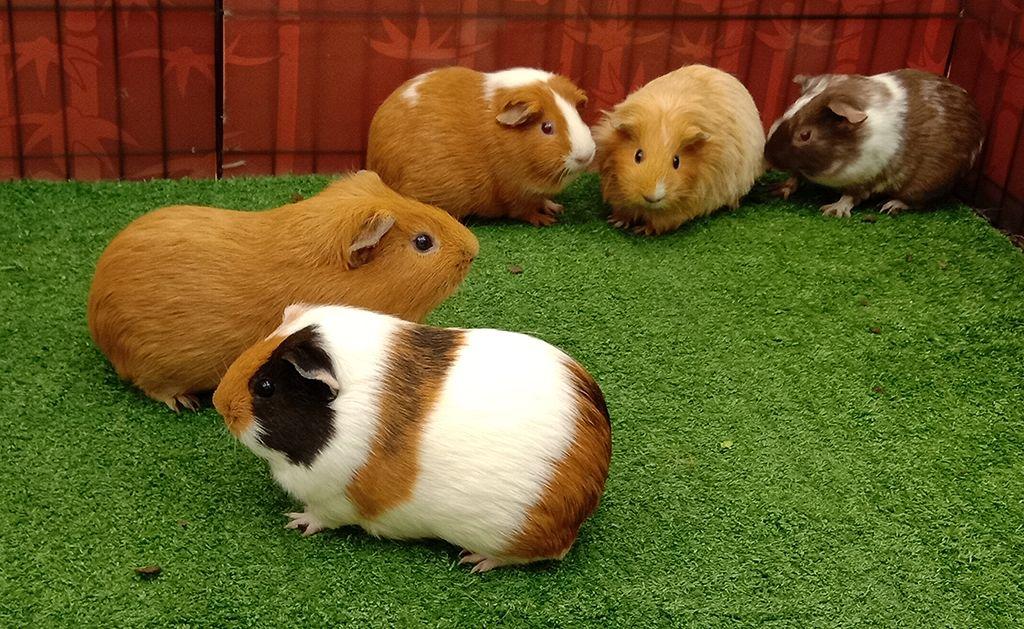 Meski Bernama Guinea Pig Hewan Ini Termasuk Tikus Lo Ini 7