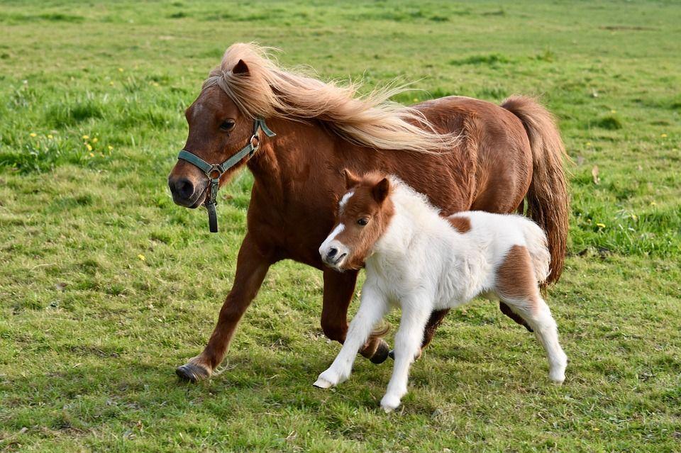 Kuda Poni dan Kuda Biasa