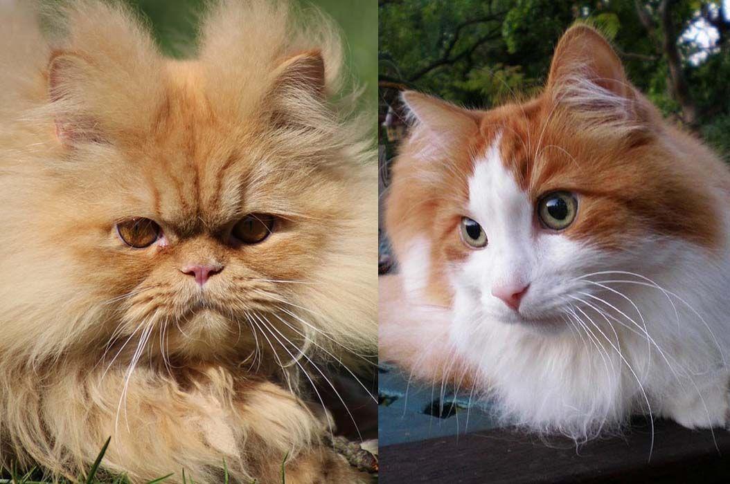 Sering Dianggap Sama Inilah Perbedaan Kucing Anggora Dan Persia Semua Halaman Bobo