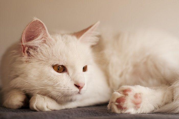 Kucing Ras Tertua Dari Turki Kucing Angora Putih Bisa Ditemukan Di Kebun Binatang Di Turki Semua Halaman Bobo