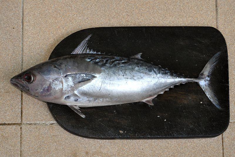 Inilah Perbedaan Ikan Tuna Tongkol Dan Cakalang Semua Halaman Bobo