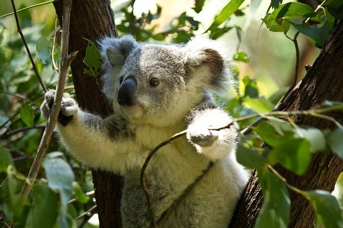 26++ Gambar hewan koala hitam putih terbaru