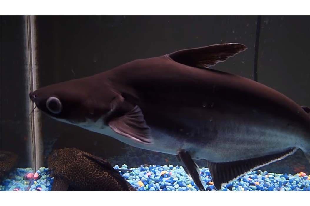 Tidak Hanya Lele Jenis Ikan Satu Ini Juga Mempunyai Kumis Ikan Apa Semua Halaman Bobo