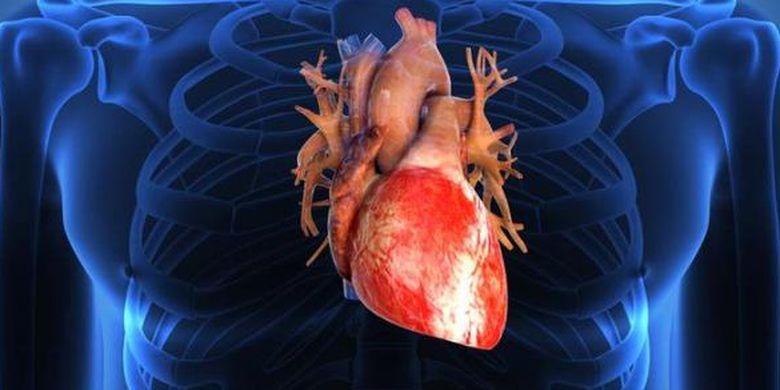 Bagian Bagian Jantung Dan Fungsinya Berikut Gambar Organ Manusia Yang Memompa Darah Semua Halaman Fotokita