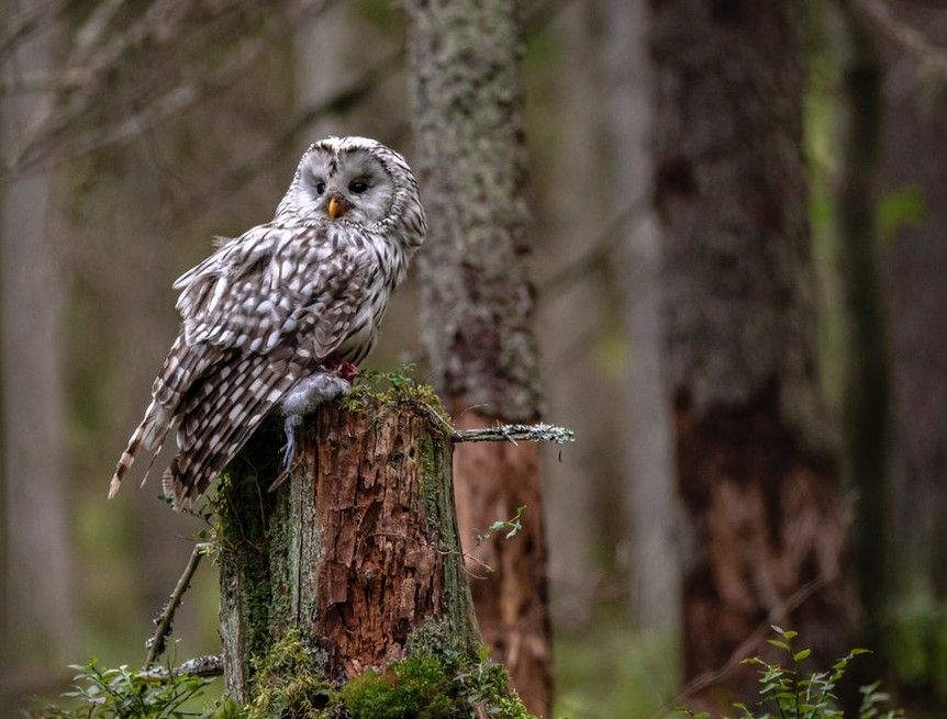 3 Fakta Unik Tentang Burung Hantu Yang Perlu Kamu Tahu Bisa Terbang Tanpa Suara Semua Halaman Bobo