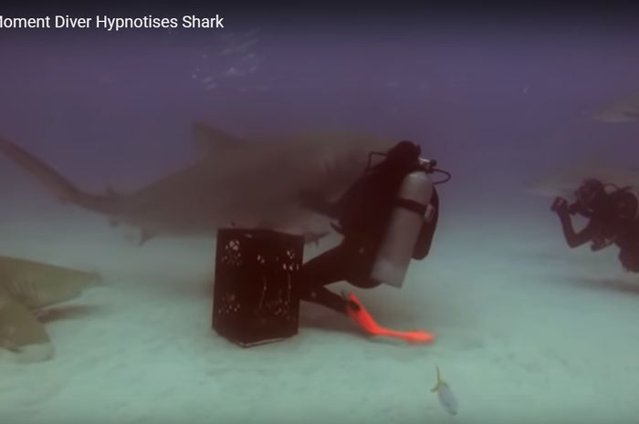 Ketika penyelam hipnotis seekor hiu.