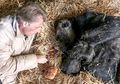 Gorila 57 Tahun Ini akan Meninggal, Perpisahan dengan Pengasuhnya Sungguh Mengharukan