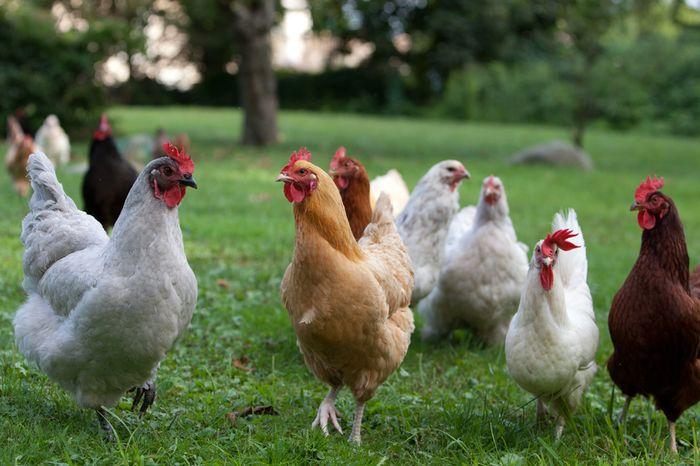 Maraknya Pencurian Ayam di Tengah Pandemi <a href='https://pontianak.tribunnews.com/tag/virus-corona' title='VirusCorona'>VirusCorona</a>