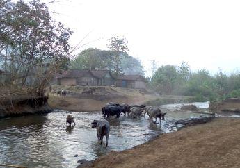 Warga di Desa Ini Pilih Investasi Kerbau hingga Ratusan Juta Rupiah daripada Nabung di Bank