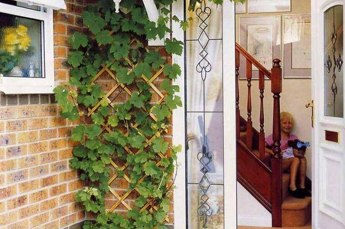 Daun ivy di depan rumah dipercaya dapat membawa keberuntungan