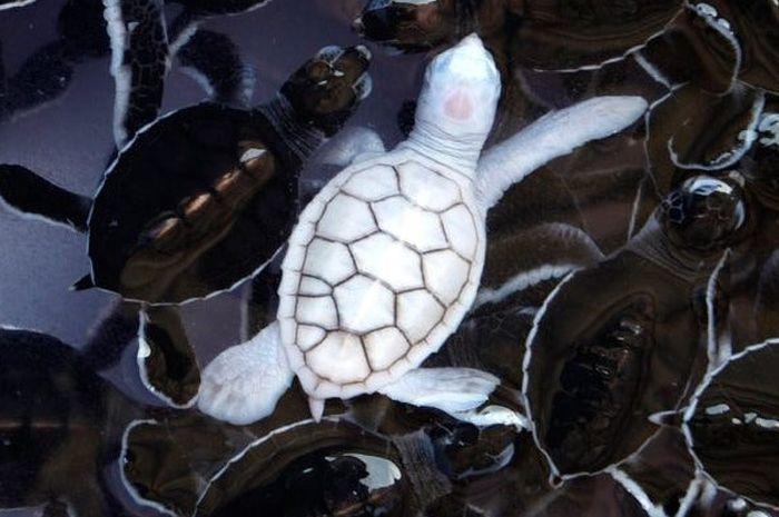 Penyu albino