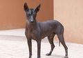 Jarang Orang Punya, Inilah 5 Ras Anjing Paling Langka di Dunia